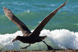 Southern Giant-Petrel in Peninsula Valdes Patagonia Argentina