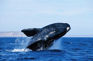 Whale Watching Peninsula Valdes Patagonia
