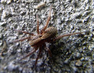 Arachnerds wolf spiders alopecosa sp for Extra mural cemetery brighton