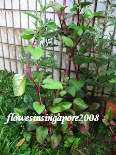 Singapore Spinach Picture on Flowers In Singapore  Basella Alba  Rubra    Ceylon Spinach