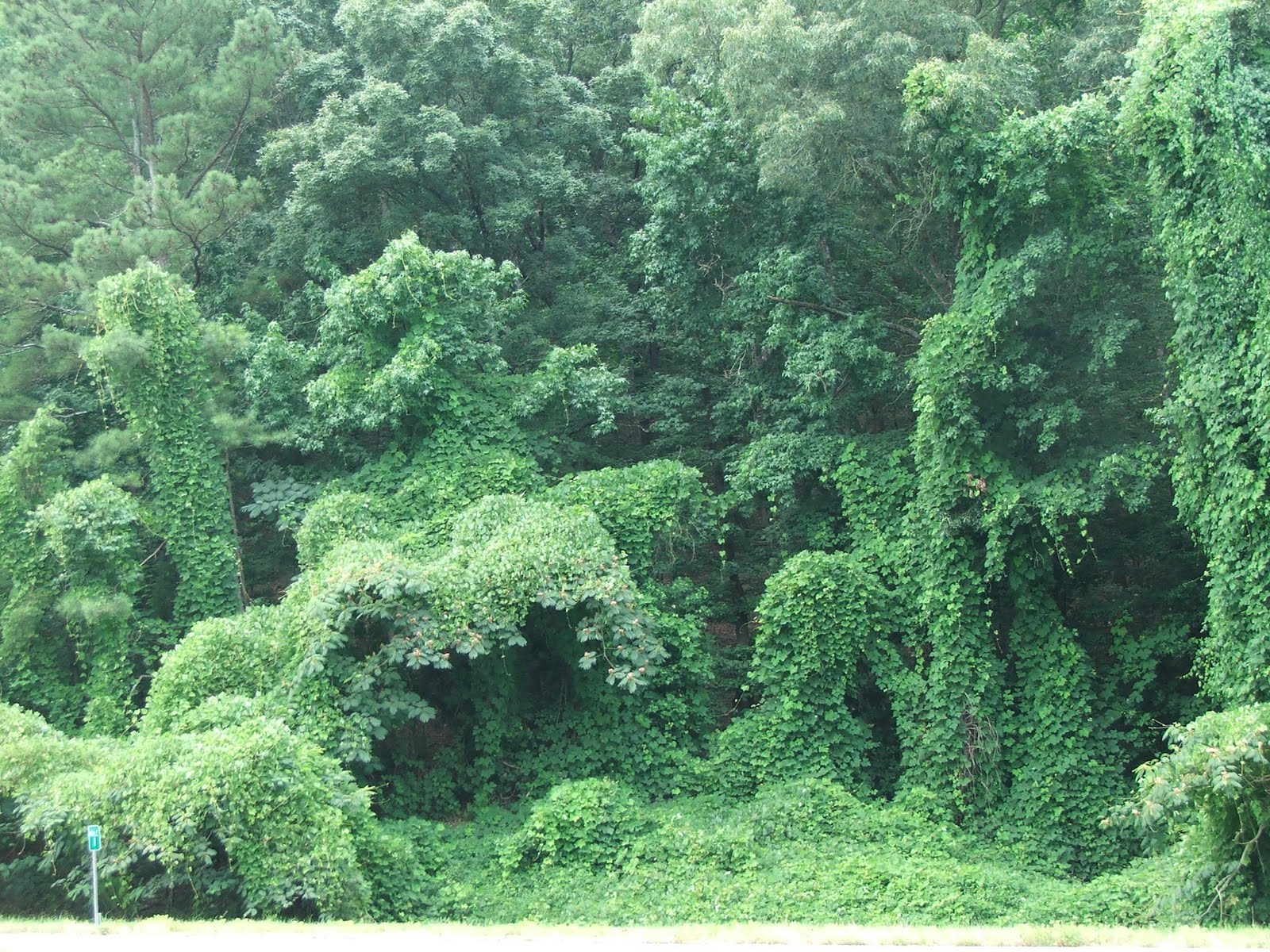 Kudzu plant - photo#1