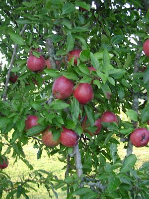 apple tree. apple tree leaf. akhilmahajan
