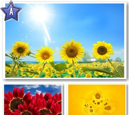 sunflowers wallpaper. White Sunflower Wallpaper.