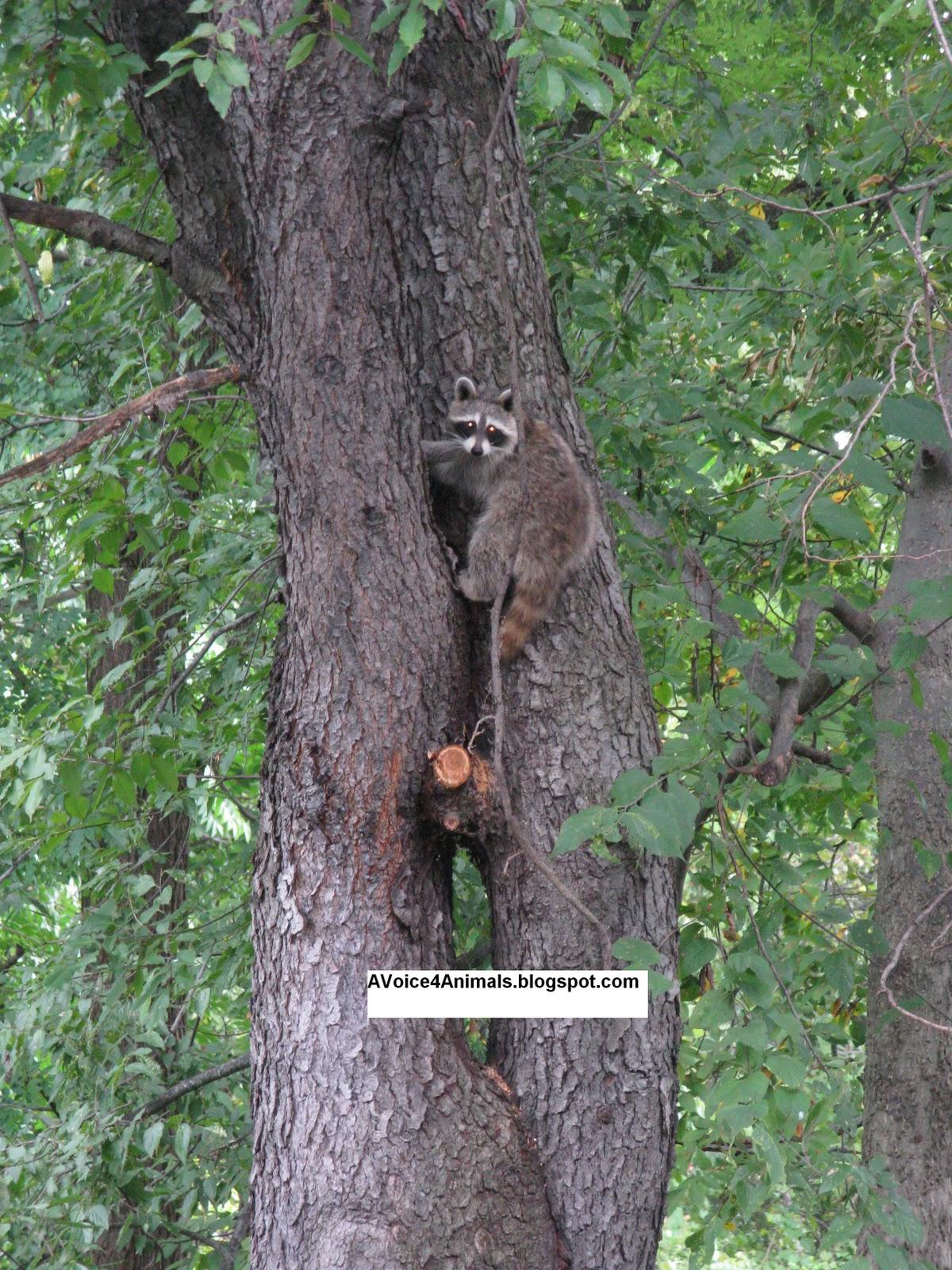 Voice 4 Animals Backyard Wildlife Series  Raccoon