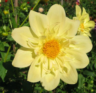 Dahlia tubers are edible
