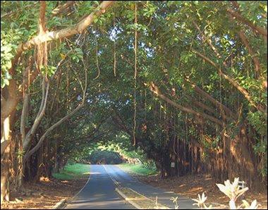 Kauai Banyan Tree 2008
