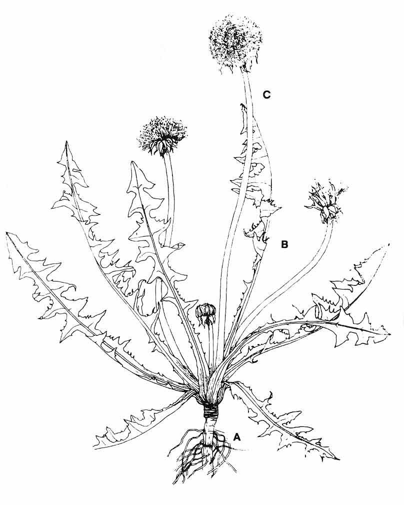 dandelion coloring pages - photo#21