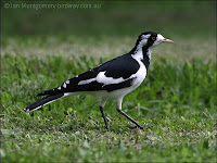 Magpie-lark