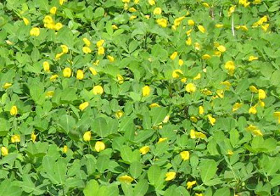 little yellow flowers