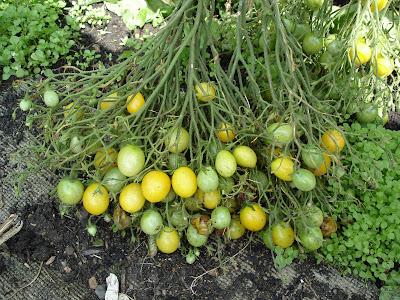 varieties of tomatoes. varieties of tomatoes in a
