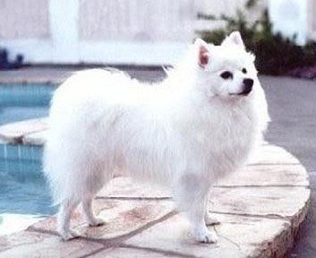Pictures of Miniature American Eskimo Dog