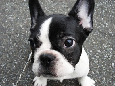 Pictures of French Bulldog