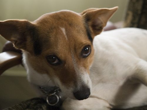 Chihuahua Mix With Jack Russell Terrier jack russell terrier pictures ...