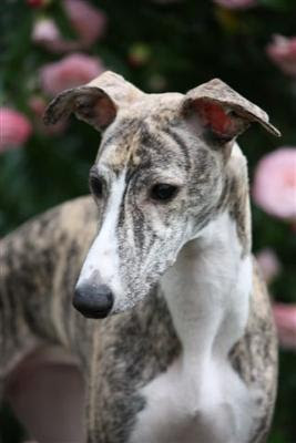 Whippet Dog Names