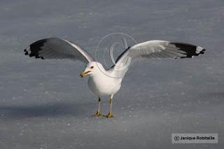 photo d'oiseau une mouette sur la glace