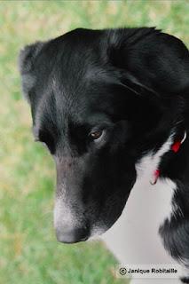 photo d'un chien labrador-border colley