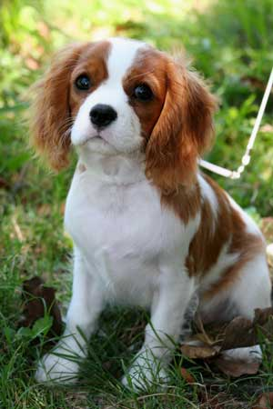 Cavalier King Charles Spaniel Dog Breed Pictures Dog