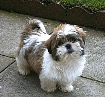 Shih Tzu Dog Breed Image | Dog Pictures Online