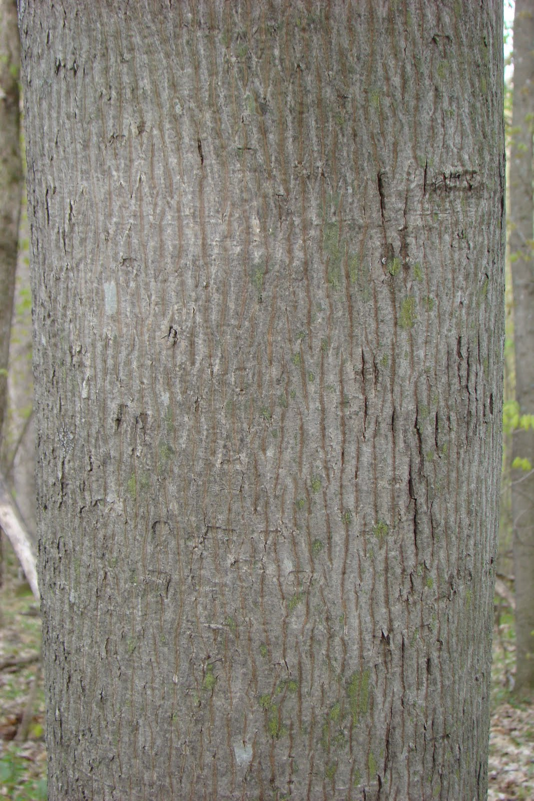 Hickory Tree Identification http://birdyword.blogspot.com/2010/04/learning-some-of-wisconsins-trees-by.html
