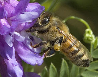 Anaphylaxis, honey bee