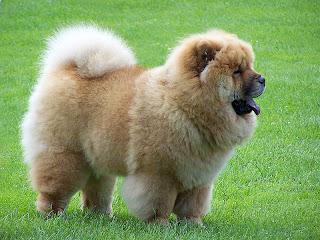 Black Chow Chow Lion Cut 5 cutest dog breeds ever!