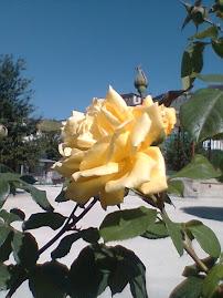 Rosa galega
