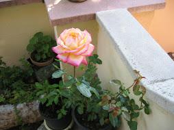 Cuando salgo, o cuando entro, a esta rosa yo la encuentro.