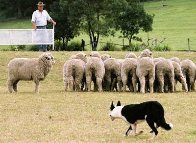 is watching the sheep dogs