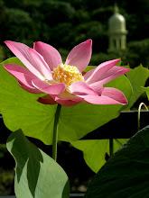袅袅荷香,在这个吉祥的 《佛陀日》