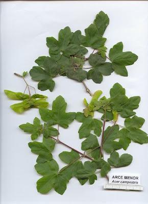 La flora en espa a arce menor - Arce arbol espana ...