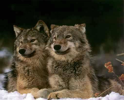 Manada: Guardianes del bosque - Página 8 Lobo