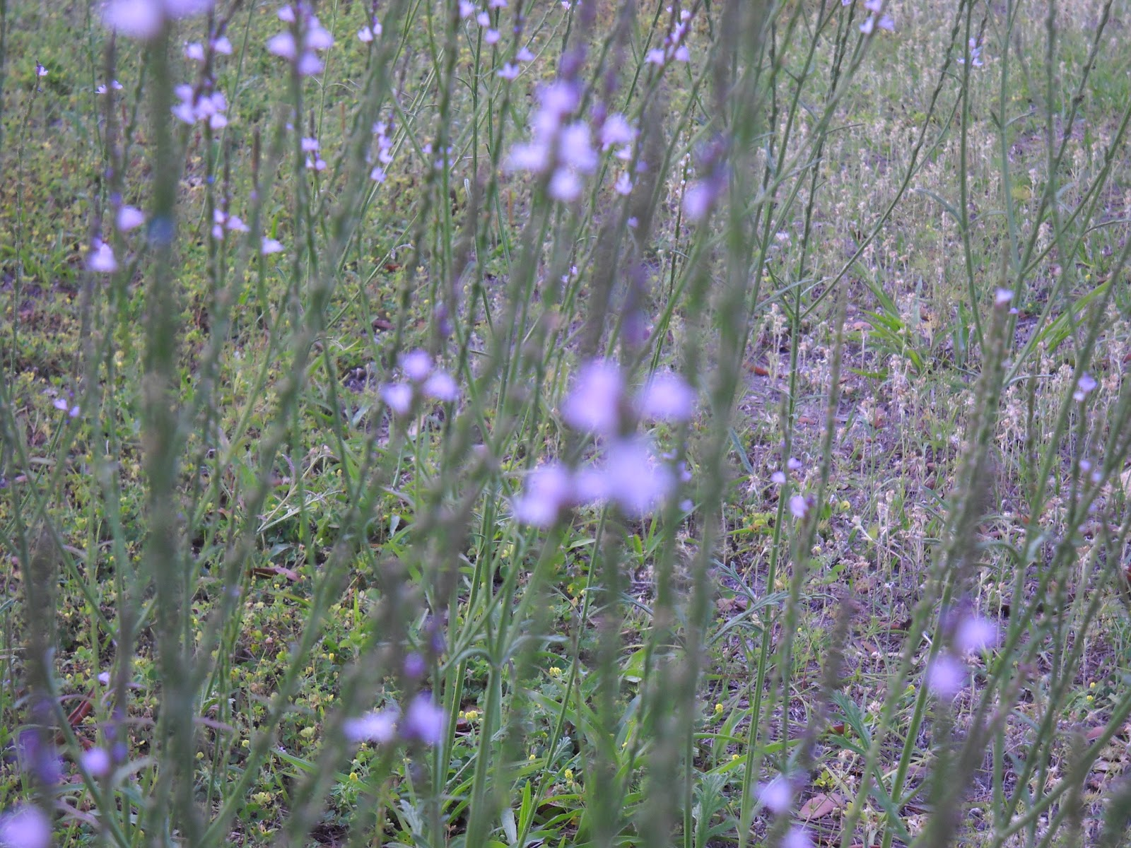 lavender colored wildflowers - photo #4