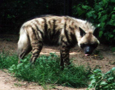 http://3.bp.blogspot.com/_CROmZlwZYP0/SX36gh9VthI/AAAAAAAAGe4/xJkf2gLCcM4/s400/Striped_Hyena.jpg