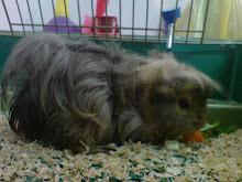 Miko - the peruvian guinea pig