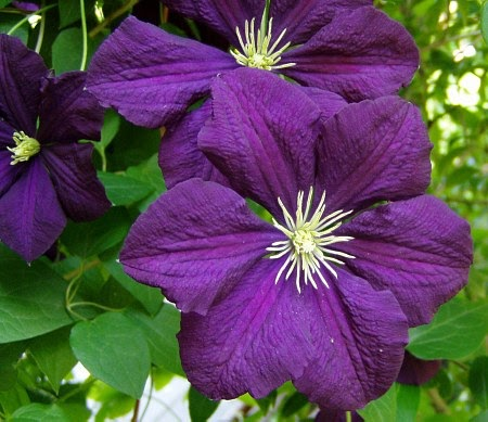 viticella clematis is bred clematis. Black Bedroom Furniture Sets. Home Design Ideas