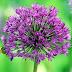 Delightful Allium Flowering Varieties