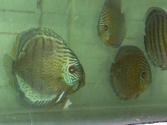 DISCUS FULL SPOTTED