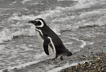 Magellanic penguin on Martillo Island