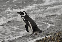 Magellanic penguin on Martillo Island
