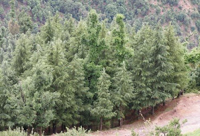 Over 20 Thousand Trees Face the Axe in Himachal