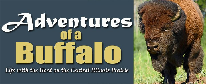Adventures of a Buffalo