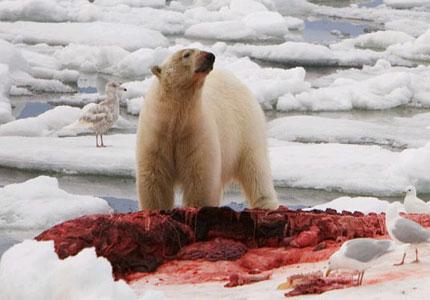 (Polar bear