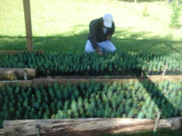 produccion de arboles forestales que es un vivero forestal