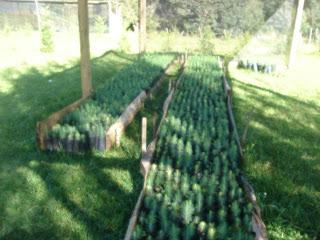 Produccion de arboles forestales que es un vivero forestal for Tipos de viveros forestales