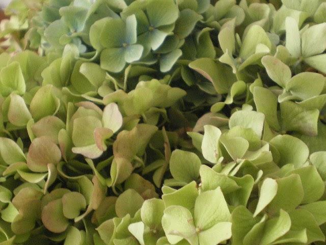 casa cuori colori: Quando le ortensie diventano verdi...