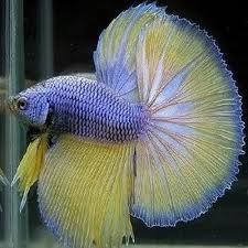 Exotic fish learn how to care for betta fish for Easy fish to care for