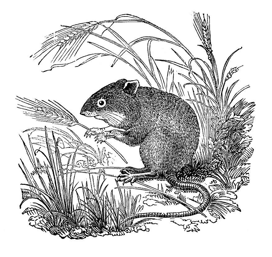 mice clip art. White Clip Art - 2 Mice
