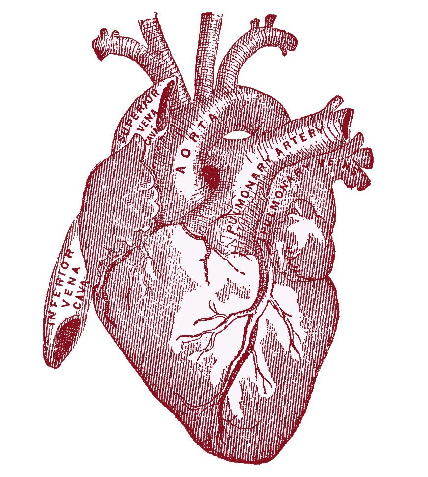 Human heart anatomy vintage - photo#1