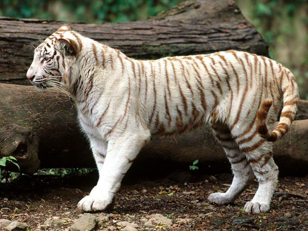 download gambar harimau putih - foto hewan - download gambar harimau putih