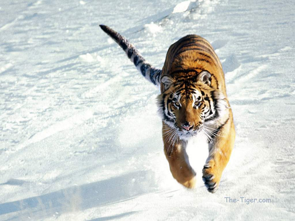 foto harimau jawa